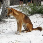A Dingo at Lake McKenzie